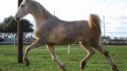 Palomino American Saddlebred in Junction City, OR