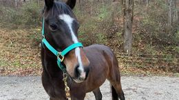 Bay Quarter Horse in Elkview, WV