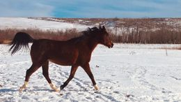Bay Quarter Horse in Red Lodge, MT