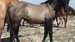 Grulla Foundation Quarter Horse in Hope, NM