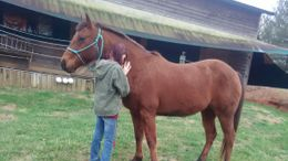 Bay Quarter Horse in Jasper, GA