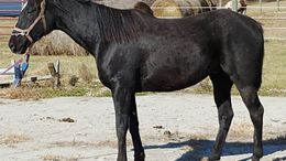 Black Thoroughbred in pleasant hill, MO