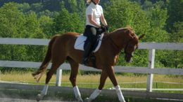 Chestnut Dutch Warmblood in Essex Jct, VT
