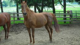 Chestnut Thoroughbred in Woodstock, IL