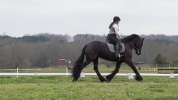 Black Friesian in Westminster, SC