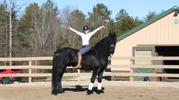 Black Friesian in Greer, SC