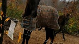 Brown Tennessee Walker in Lincolnton, NC