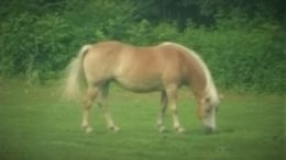 Palomino Haflinger in Farmington, ME