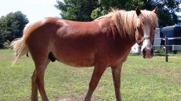Other Haflinger in Varysburg, NY
