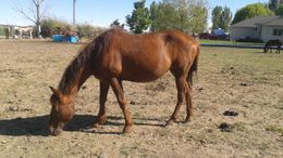 Sorrel Quarter Horse in Meridian, ID