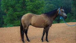 Buckskin Quarter Horse in Raleigh, NC