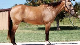 Buckskin Quarter Horse in Denver, CO