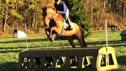 Chestnut Irish Sport Horse in Nottingham, PA