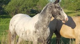 Grey Appaloosa in Arvilla, ND