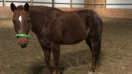 Sorrel Quarter Horse in north reading, MA