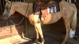 Palomino Quarter Horse in Cable, OH