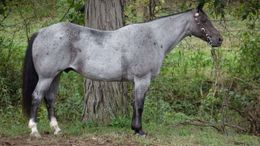 Roan Quarter Horse in Minneapolis, MN