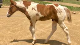 Sorrel Paint (Tobiano) in Rome, GA