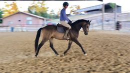 Buckskin Dutch Warmblood in Atascadero, CA