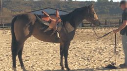 foundation quarter horse