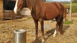 Chestnut Tennessee Walker in Shoals, WV