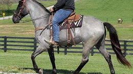 Roan Tennessee Walker in Philadelphia, PA