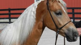 Chestnut Haflinger in middlefield, OH