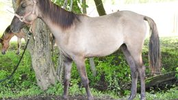 Grulla Tennessee Walker in DeWitt, MI