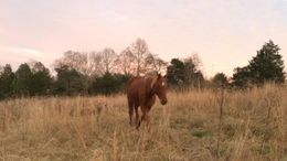 Sorrel Tennessee Walker in Corryton, TN