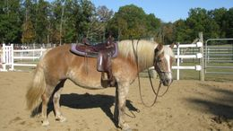 Palomino Haflinger in Canfield, OH