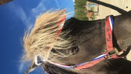 Brown Shetland Pony in Fairplay, CO