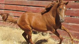 Sorrel Quarter Horse in Santa Maria, CA
