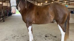 Chestnut Quarter Horse in Saint Hedwig, TX