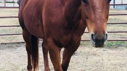 Chestnut Quarter Horse in Aledo, TX