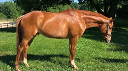 Chestnut Thoroughbred in Waynesboro, VA