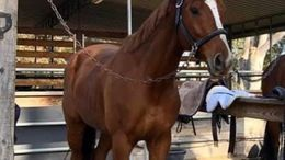 Chestnut Thoroughbred in Malibu, CA