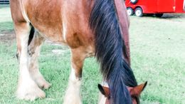 Bay Clydesdale in Peachtree City, GA