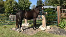Black Quarter Horse in Bixby, OK