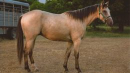 Buckskin Quarter Horse in ELMORE CITY, OK