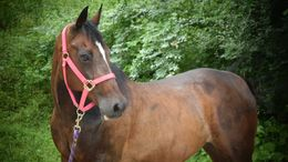 Bay Standardbred in Charleston, WV