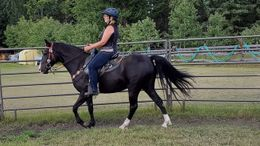 Black Kentucky Mountain Saddle Horse in Indianapolis, IN