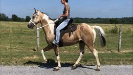 Buckskin Tennessee Walker in Boston, MA