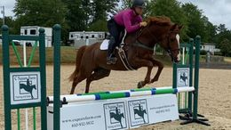 Chestnut Irish Sport Horse in Aiken, SC