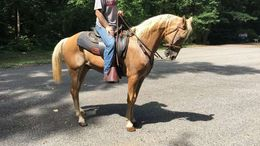 Palomino Tennessee Walker in Seattle, WA