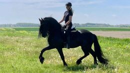 Black Friesian in Findlay, OH