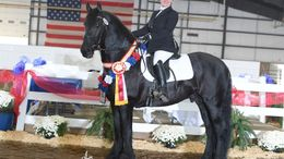 Black Friesian Cross in Springfield, OH