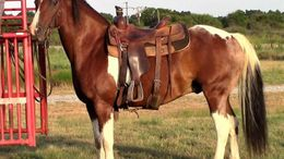 Other Quarter Horse in Dallas,, TX