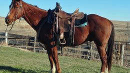 Chestnut Quarter Horse in Lexington, NE