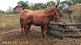 Sorrel Quarter Horse in Kansas City, KS