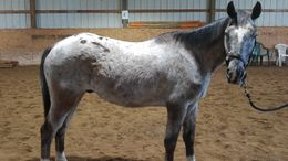 Grey Appaloosa in Parma, MI